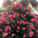春輝苑正門のバラが満開です🌸